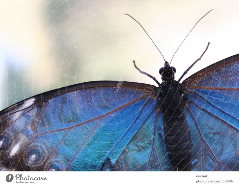 Iridescent Colour photo Macro (Extreme close-up) Shallow depth of field Eyes Nature Animal Butterfly Wing 1 Crawl Esthetic Blue Insect Dazzling Feeler