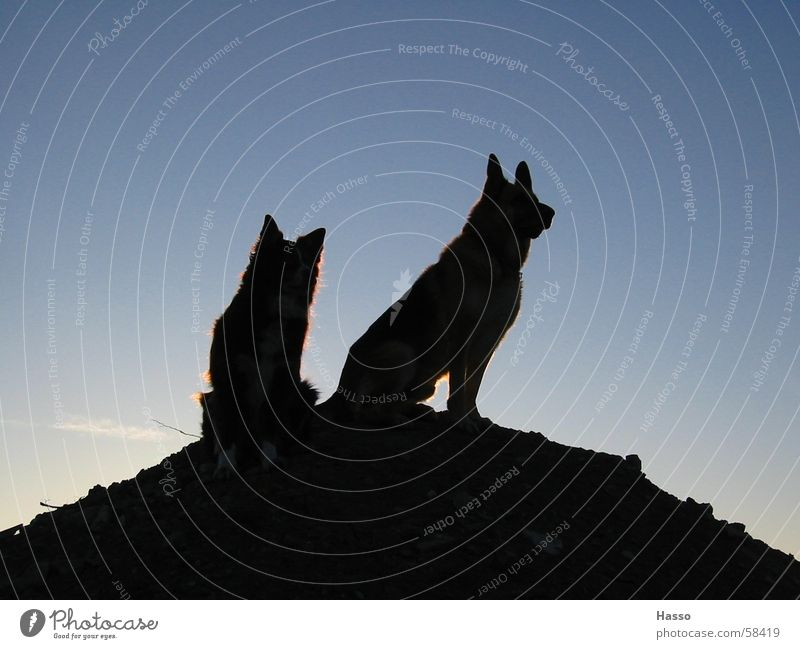 King of the Hill Dog Back-light Dark Threat Superior Monitoring Morning Black Mountain Sky Tall Above Review Observe Testing & Control Blue German Shepherd Dog