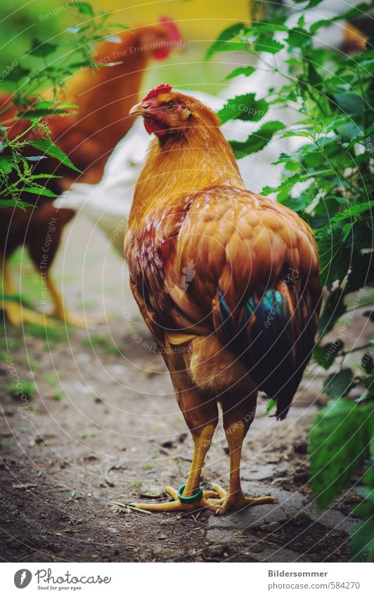 fryers Food Meat Nutrition Organic produce Nature Animal Garden Meadow Farm animal Barn fowl Poultry 1 2 Walking Stand Healthy Happy Brown Multicoloured Green