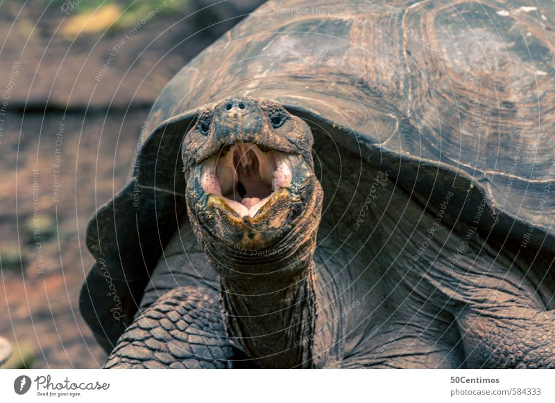 hungry giant tortoise with open mouth Galapagos islands Animal Wild animal Giant tortoise Turtle 1 Laughter Scream Aggression Old Power Anger Ecuador