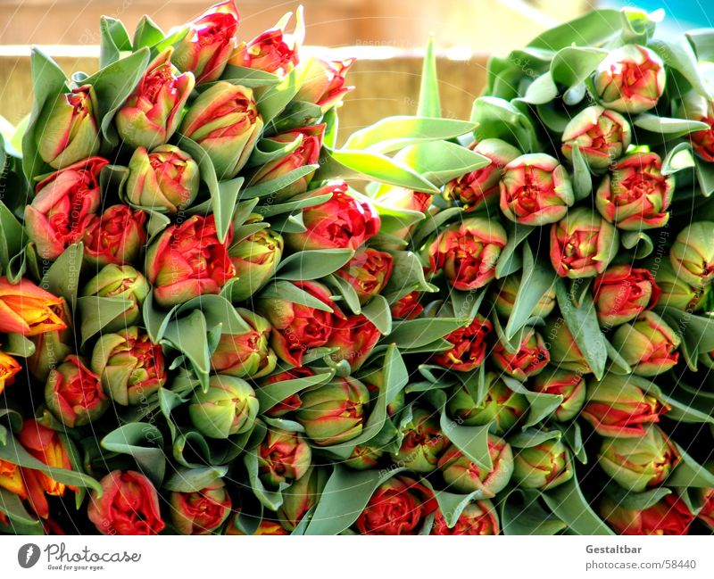 Beautiful Flower Green Red Leaf Yellow Blossom Spring Multiple Many Tulip Bud Heap