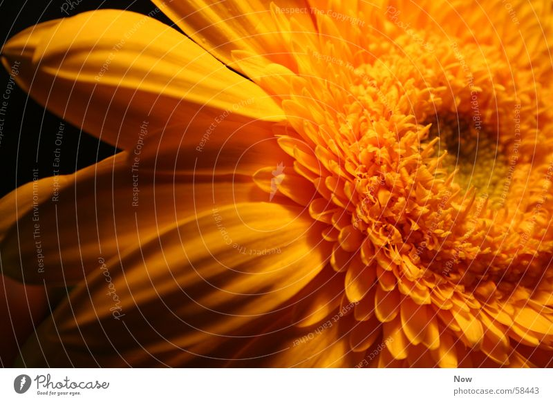 Nature Sun Flower Plant Yellow Gerbera