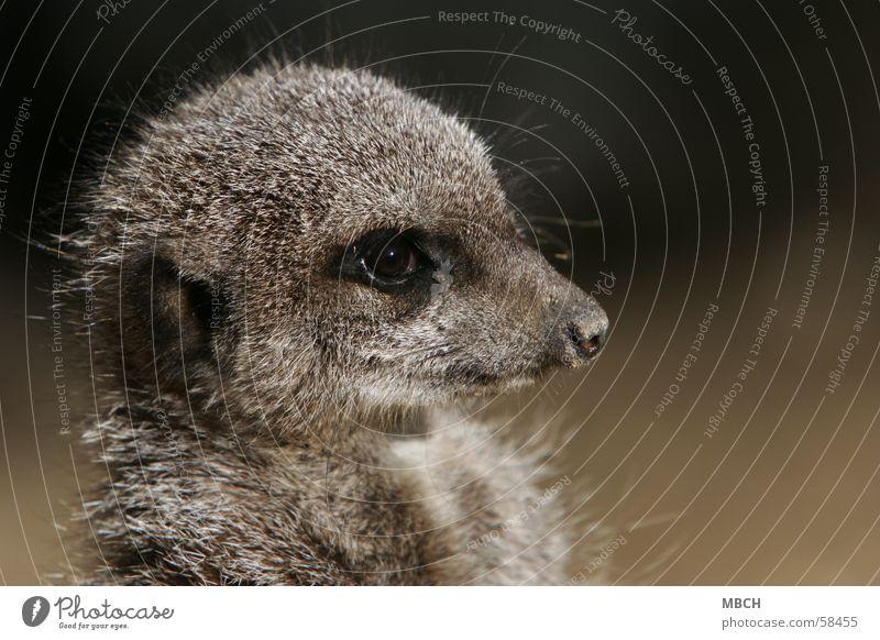 Animal Eyes Gray Small Nose Ear Pelt Near Snout Guard