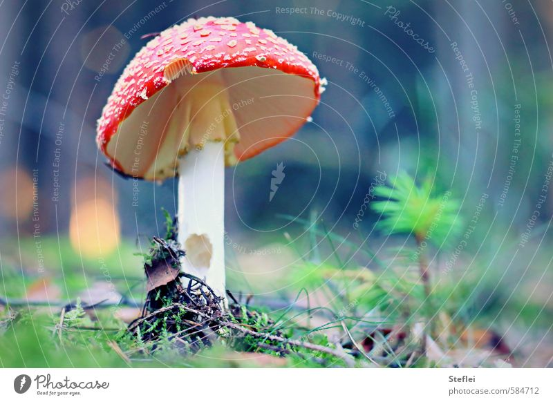 Little Red Riding Hood Poisoned Happy Healthy Illness Intoxicant Relaxation Calm Game of chance Mushroom Amanita mushroom Nature Plant Autumn Wild plant Forest