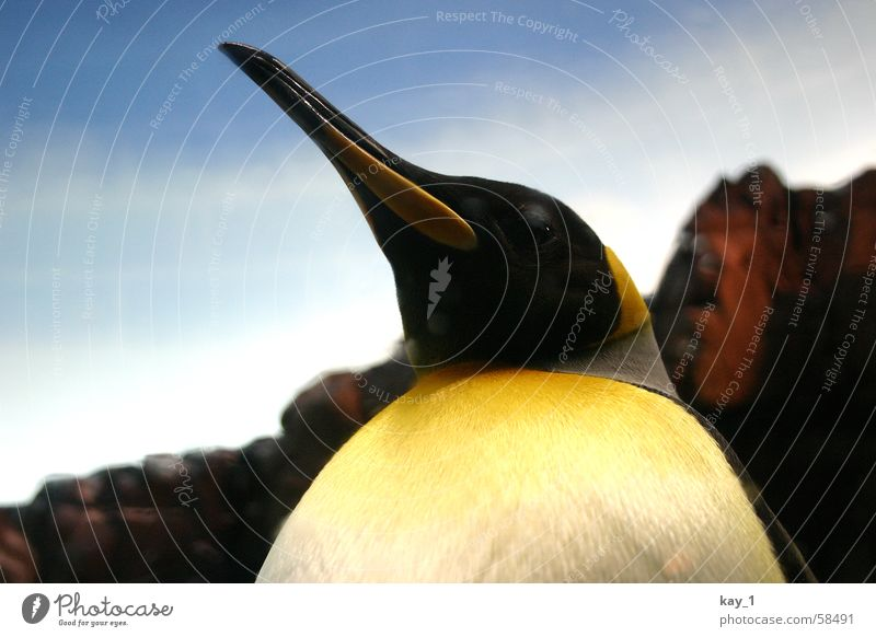 King Penguin King penguin
