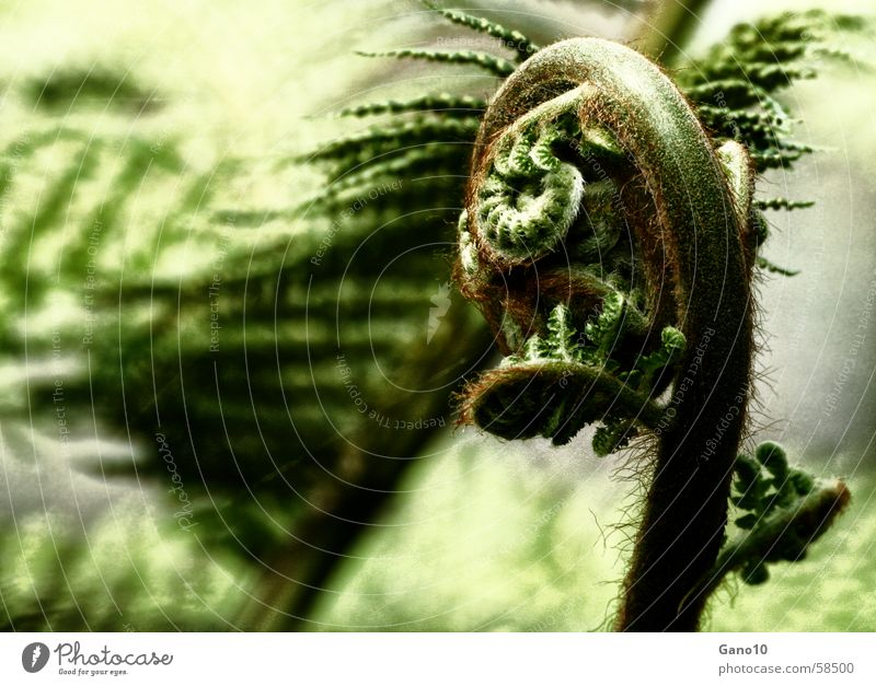 Fern curve2 Green Plant Wood flour Far-off places Forest plant Spiral Leaf Pteridopsida
