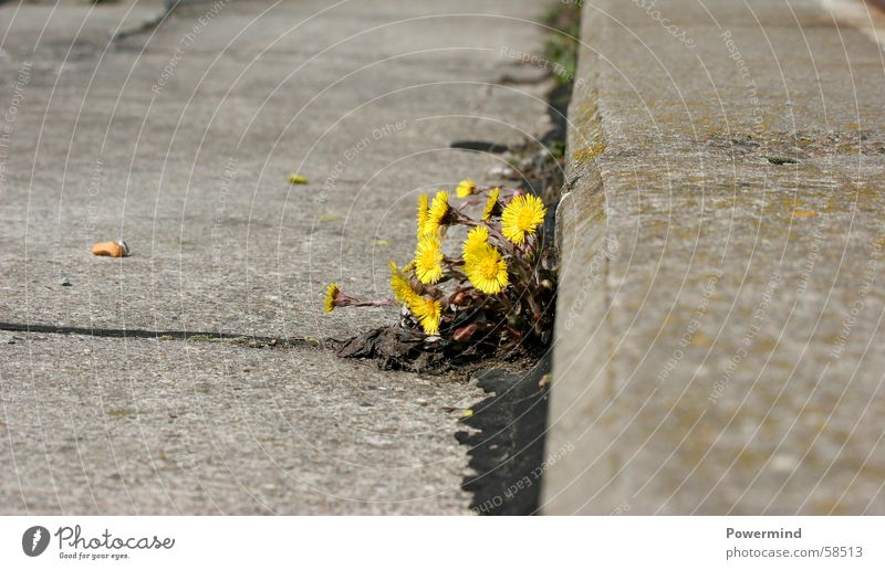 Plant Flower Loneliness Street Life Growth Asphalt Blossoming Harvest Intoxicant Edge Daisy Family Medicinal plant Weed Cement Coltsfoot