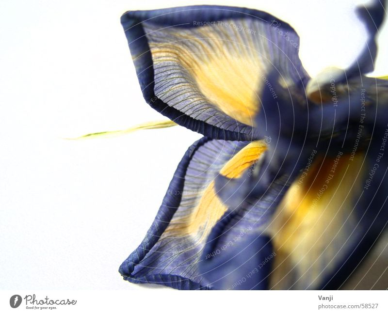 Nature Old Flower Blue Plant Leaf Yellow Colour Blossom Delicate Decline Easy Smooth Lily Fragile Blossom leave