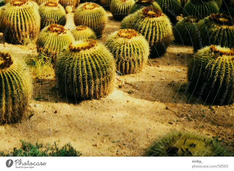 Green Field Pain Cactus Thorn Window board Cactus field