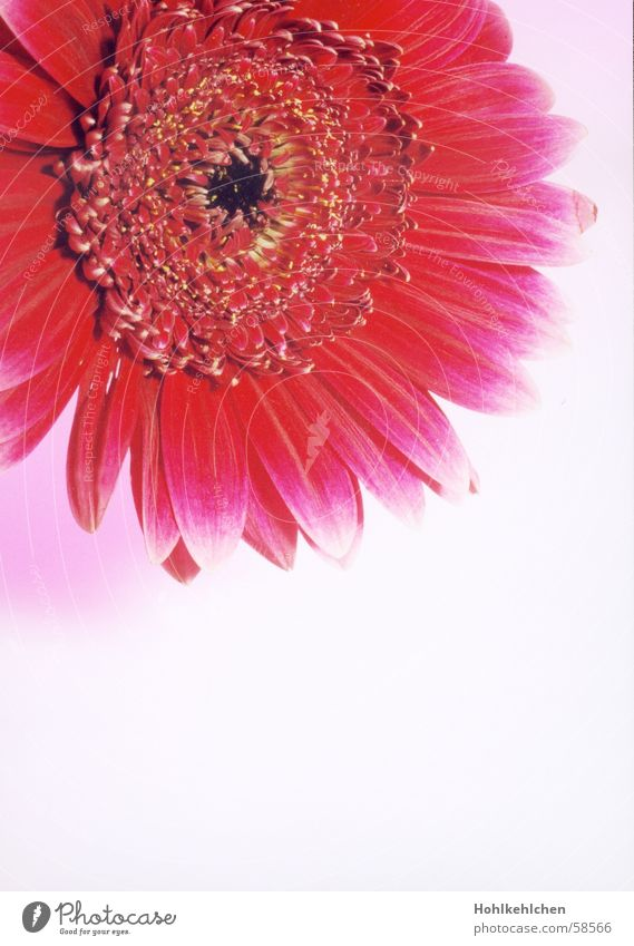 flowery flowers Plant Flower Gerbera Red Pink Close-up Studio shot Kitsch Intensive Partially visible Fragrance Odor