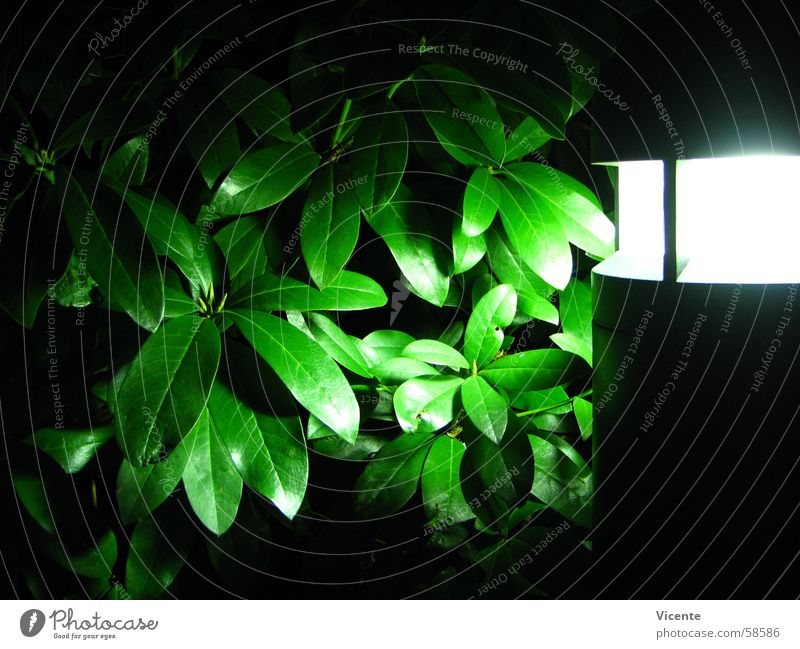 White Green Plant Leaf Black Lamp Dark Bright Lighting Bushes Neon light Floodlight Rhododendrom