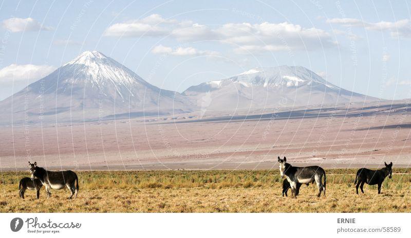 Sky Vacation & Travel Clouds Animal Grass Volcano Chile Salar de Atacama San Pedro de Atacama