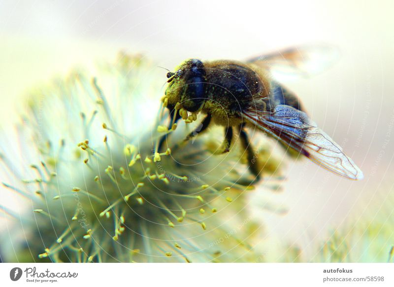 Honey bee close up Bee Pollen Macro (Extreme close-up)