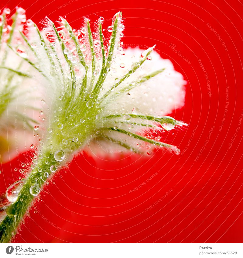 Little hairy little shit. Flower Plant White Red Green Summer Spring Drops of water Rain Anemone Dew Water