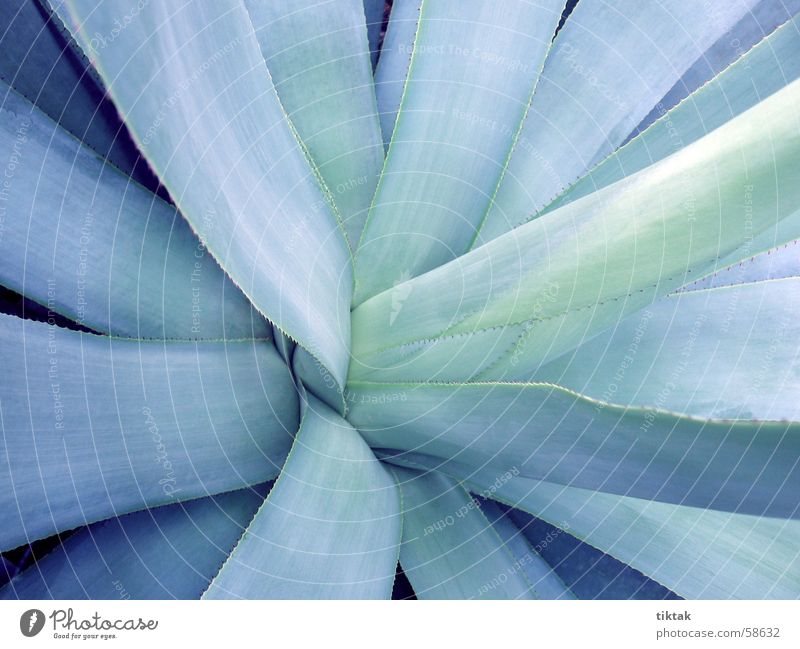 unfurl the heart Blue-green Leaf Growth Cold Far-off places Arid region Virgin forest Steppe Semi-desert Drought Dry Modest Satisfactory Cactus Succulent plants