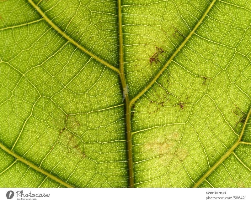 leaf veins Leaf Vessel Green