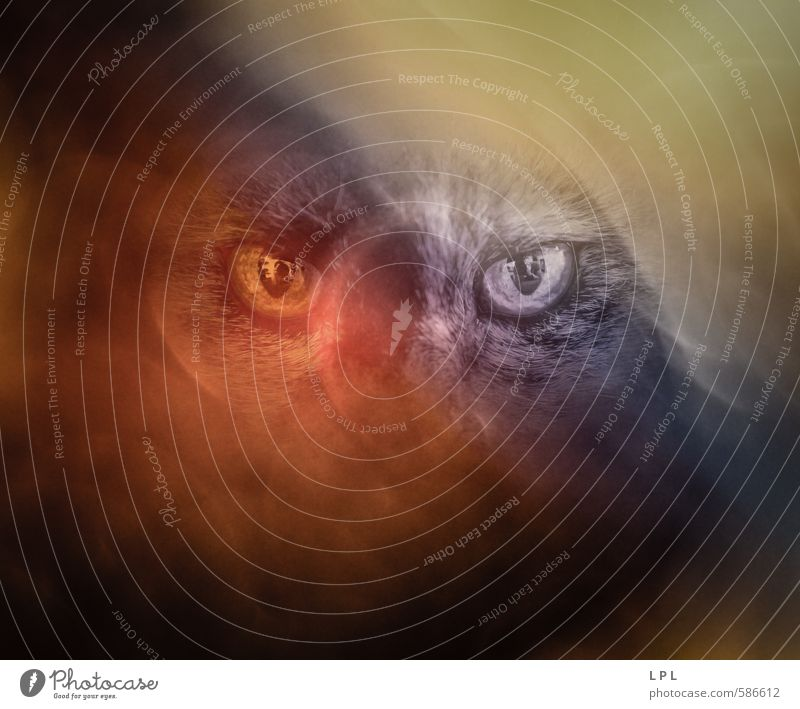 Cat Blue Animal Dark Yellow Eyes Sadness Moody Fog Wild Dangerous Threat Pet Aggression Attack
