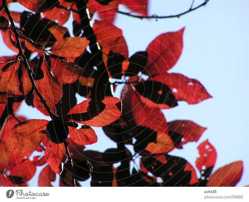 summer foliage Leaf Tree Red Autumn Sky Branch Twig Sun Warmth