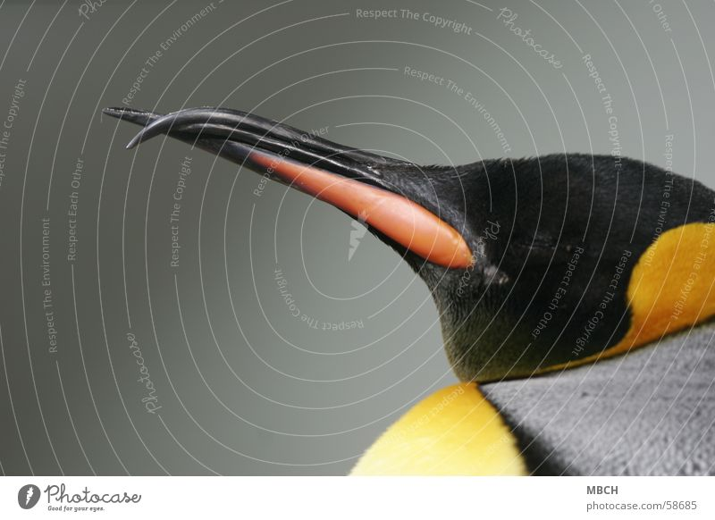 Black Animal Gray Beak Penguin King penguin