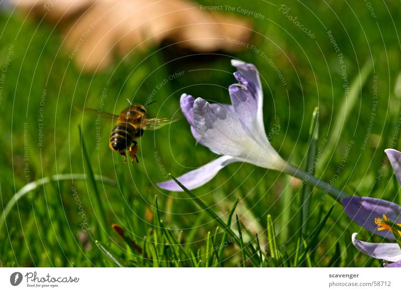 commuting distance Bee Wasps Bumble bee Insect Blossom Grass White Violet Green Spring Hover Air Aerial photograph Near Far-off places Summer Sun