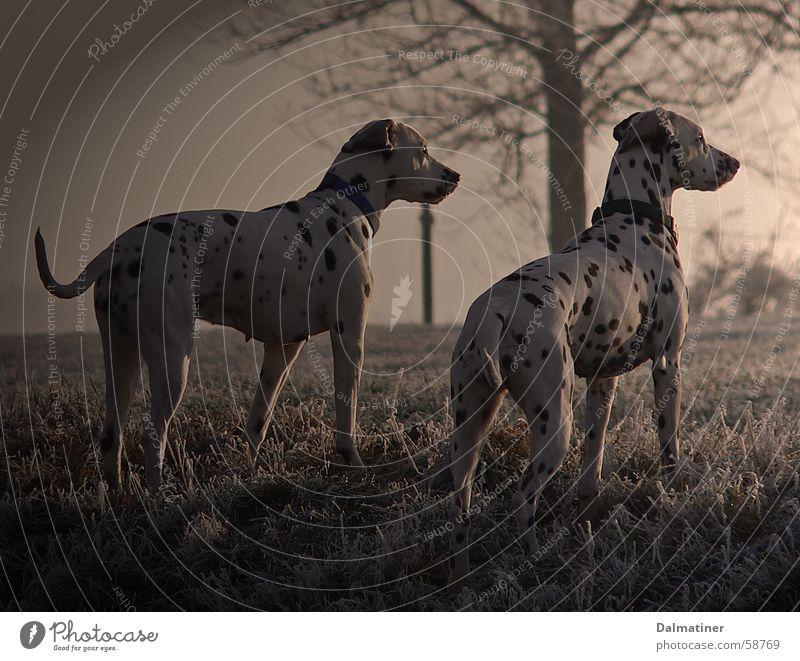 evening mood Dalmatian Dog Cold Winter Moody Animal Evening