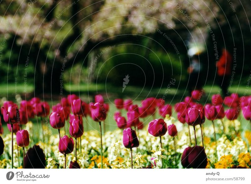 tulips by the window Flower Tulip Flower meadow Meadow Plant Red Spring Summer Multicoloured Garden Colour Bright Tulip blossom Flowerbed Park