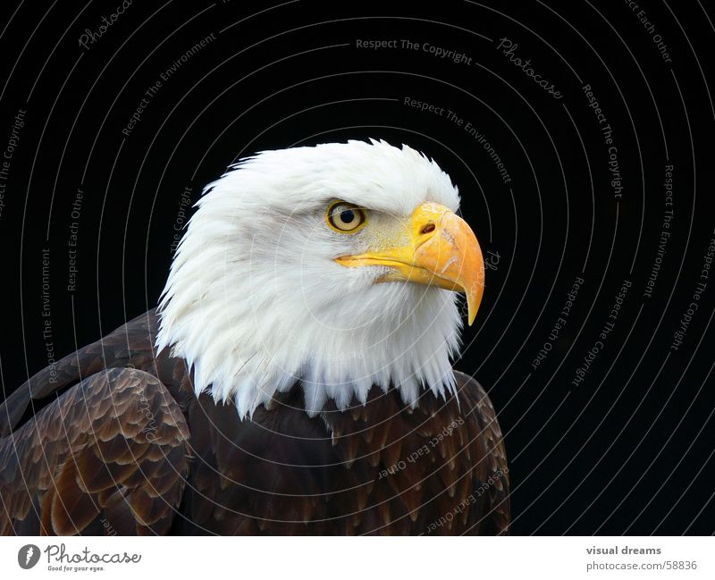 Nature White-tailed eagle Bird Animal face Beak Pride Eagle Isolated Image Heraldic animal Bird's eyes Bald eagle Dark background
