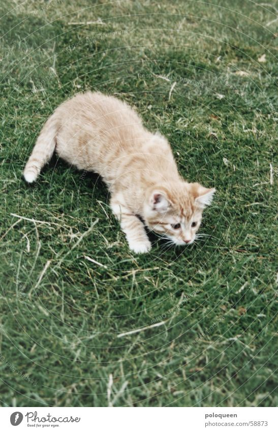 Green Red Meadow Playing Cat Orange Small Lawn Hunting Domestic cat