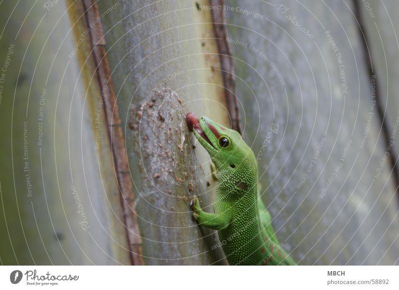 daintily Gecko Lick Green Red Vertical Stick Madagascar Tongue