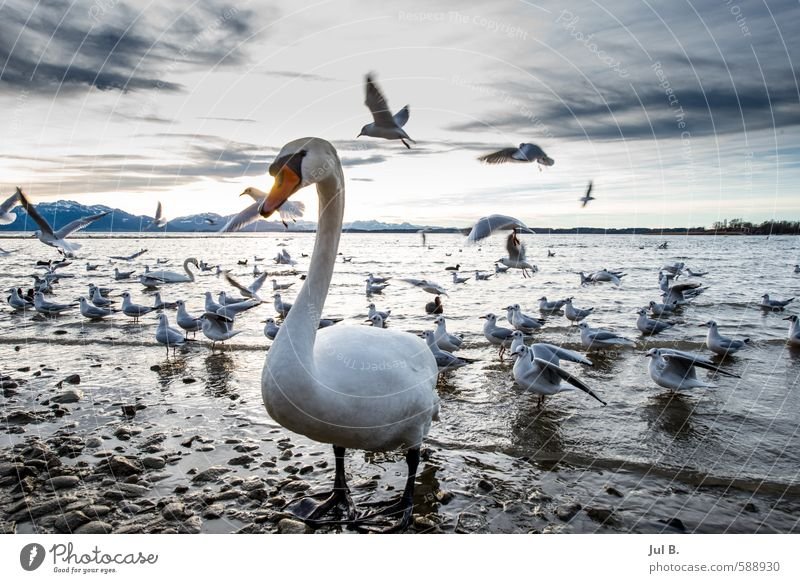 Swan and seagulls Nature Air Water Sky Clouds Winter Animal Bird Wing Flock Emotions Moody Joy Chiemgau Lake Chiemsee Colour photo Evening Twilight