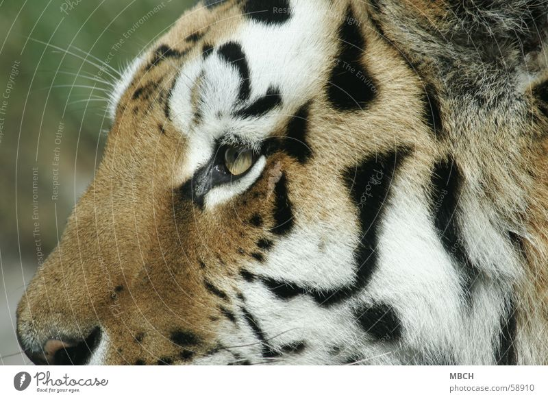 White Black Eyes Animal Cat Orange Nose Stripe Near Pelt Tiger Big cat