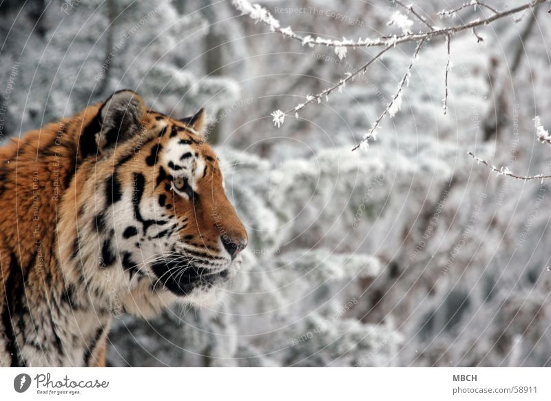 observer Tiger Animal Cat Big cat Black White Pelt Pattern Stripe Orange Observe Looking Ear Eyes Nose Snow Wild animal
