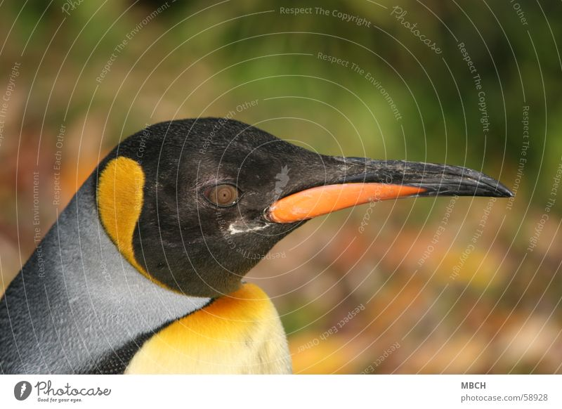 Black Eyes Animal Yellow Gray Orange Beak King Penguin