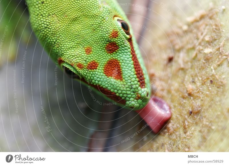 Green Red Animal Nose Near Point Tongue Snout Lick Africa Gecko Madagascar