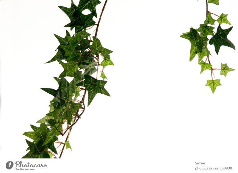 Nature Green Plant Leaf Ivy Foliage plant Creeper Lightbox