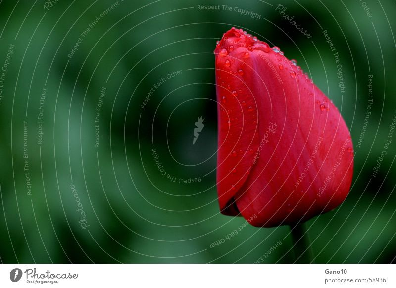 Flower Red Jump Blossom Spring Drops of water Tulip