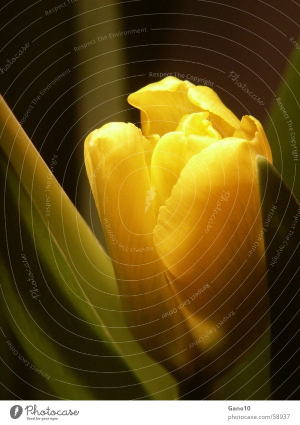 Flower Yellow Jump Blossom Spring Hide Tulip Timidity
