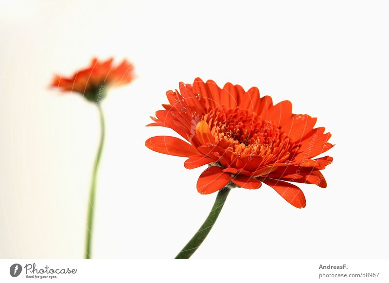 Nature Flower Red Summer Yellow Blossom Spring Orange Stalk Bouquet Sunflower Depth of field Gerbera Florist Flower stem