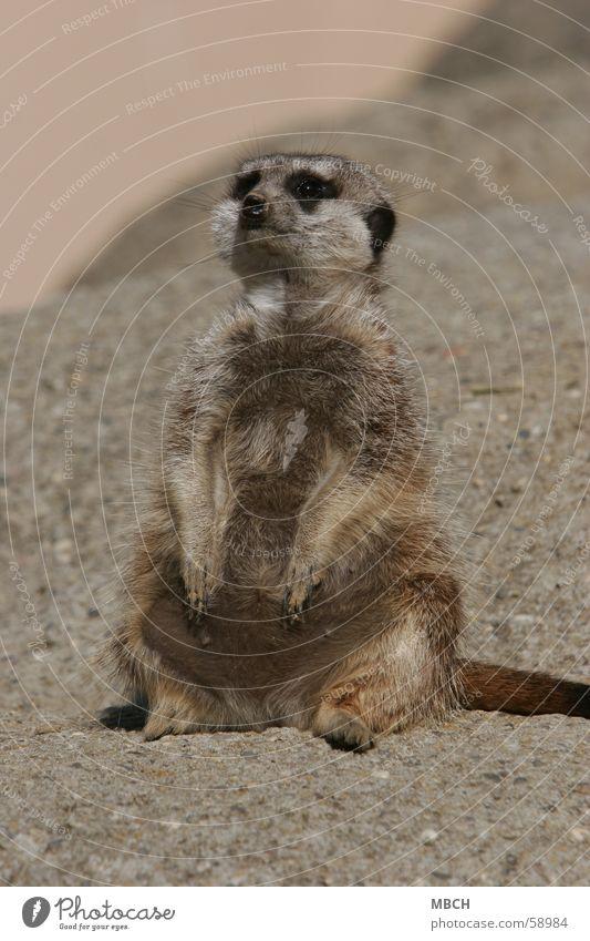 Sun Animal Gray Stone Small Sit Pelt Heat Puppy love Meerkat