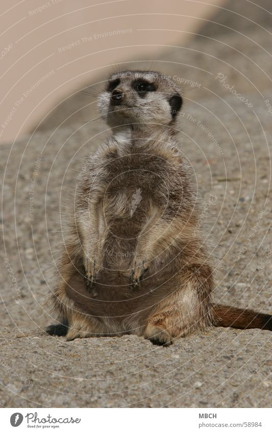 Sun Animal Gray Stone Small Sit Pelt Heat Puppy love Meerkat