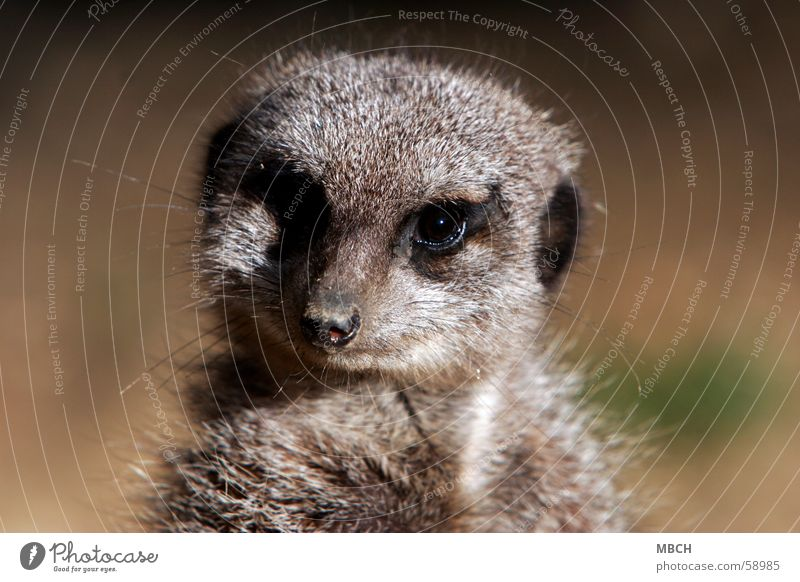 Animal Eyes Gray Small Pelt Near Meerkat