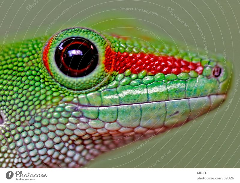 Green Red Animal Eyes Head Brown Near Animal face Snout Pupil Gecko