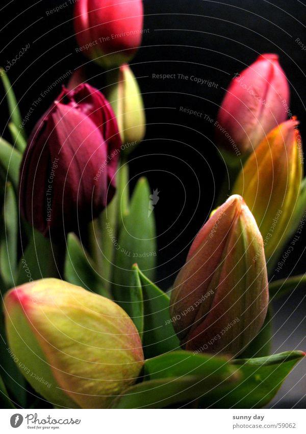 tulips Tulip Flower Blossom Netherlands Plant