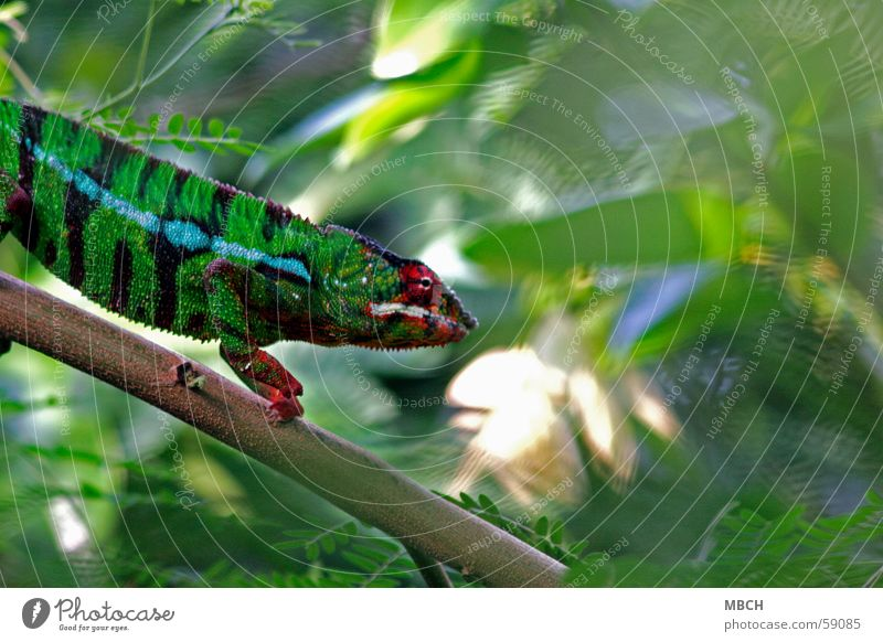 Hunting Madagascar Panther Green Red Black White Stripe Going Pattern Colouring Leaf Animal chameleon Blue Climbing Prongs ats Wild animal