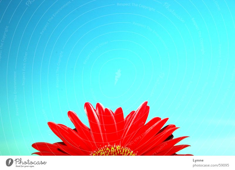 Sky Flower Blue Red Summer Spring Beautiful weather Gerbera