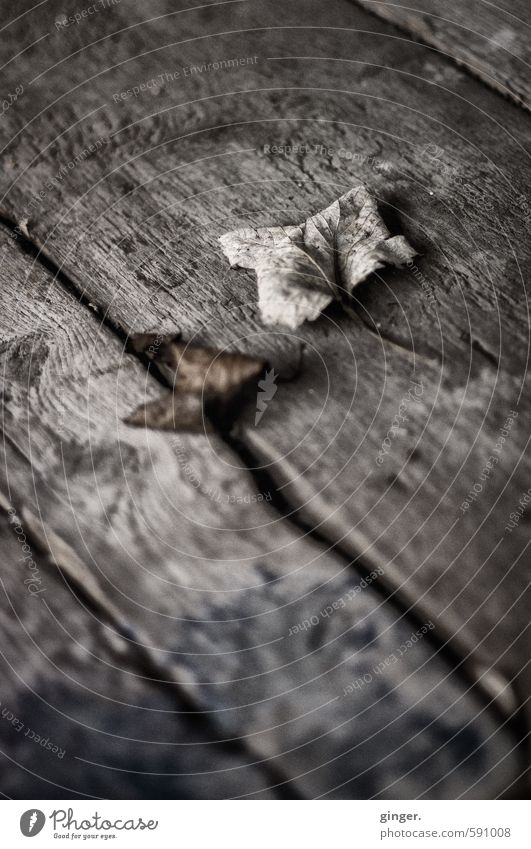 Cologne UT | Pascha | Preserved Autumn Environment Winter Climate Leaf Brown Gray Shriveled Autumn leaves Curved Wood Wooden board Furrow Old Cold Wood grain