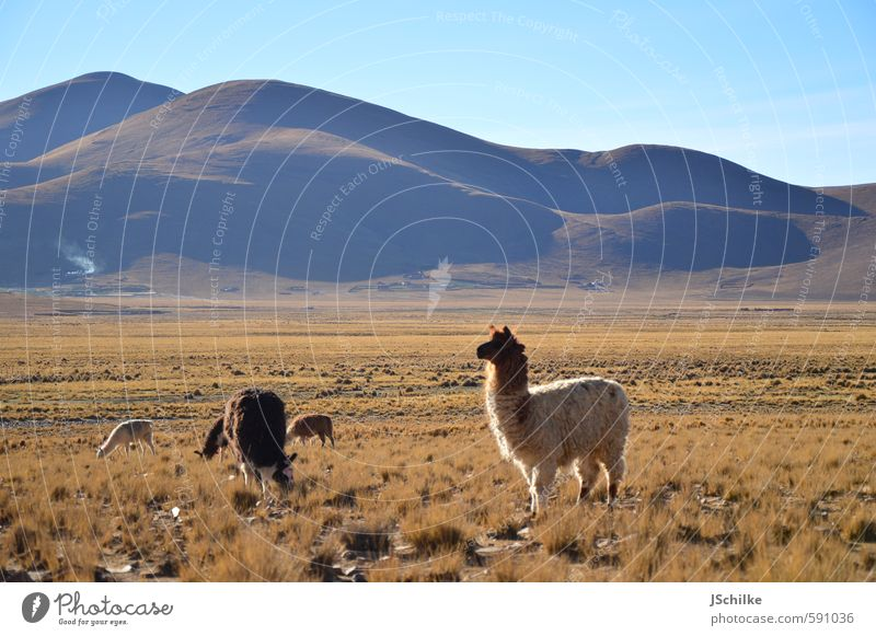lama shooting Calm Vacation & Travel Tourism Adventure Far-off places Freedom Expedition Nature Landscape Grass Bushes Wild plant Mountain Andes Steppe