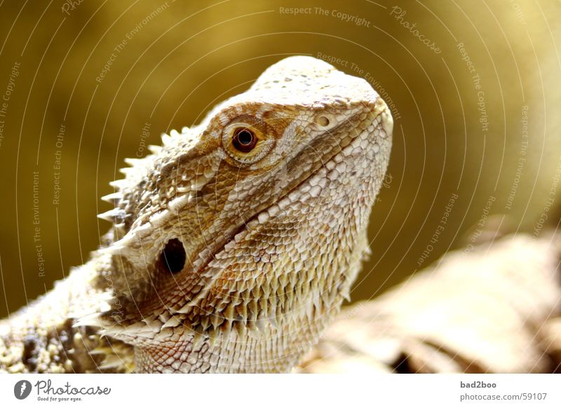 bearded dragon Barbed agame Agamidae Saurians Reptiles Armor-plated Animal Eyes Spine