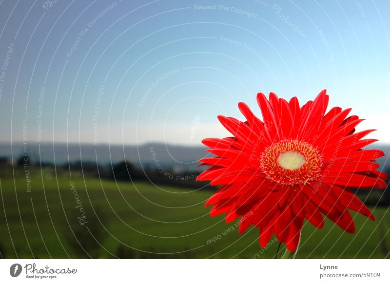 Gerbera 3 Red Green Meadow Spring Flower Blue Sky Landscape Nature