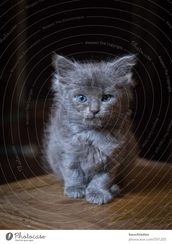 Cat Nature Blue Beautiful Animal Black Gray Small Brown Cuddly